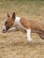 I believe I can fly...mini bull terrier running through grassy field