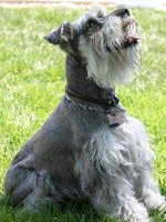 Miniature Schnauzer looking toward the sky