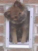 Louis the Pom looking out his dog door