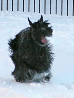 Giant Schnauzer running in the snow