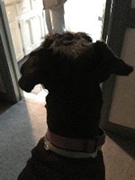 Giant Schnauzer waiting patiently for his mom