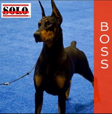 Doberman in dog show