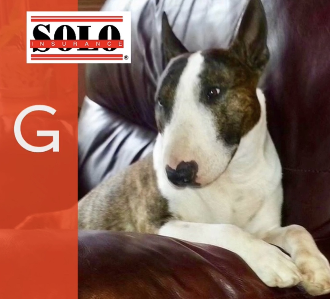 Miniature Bull Terrier in his chair