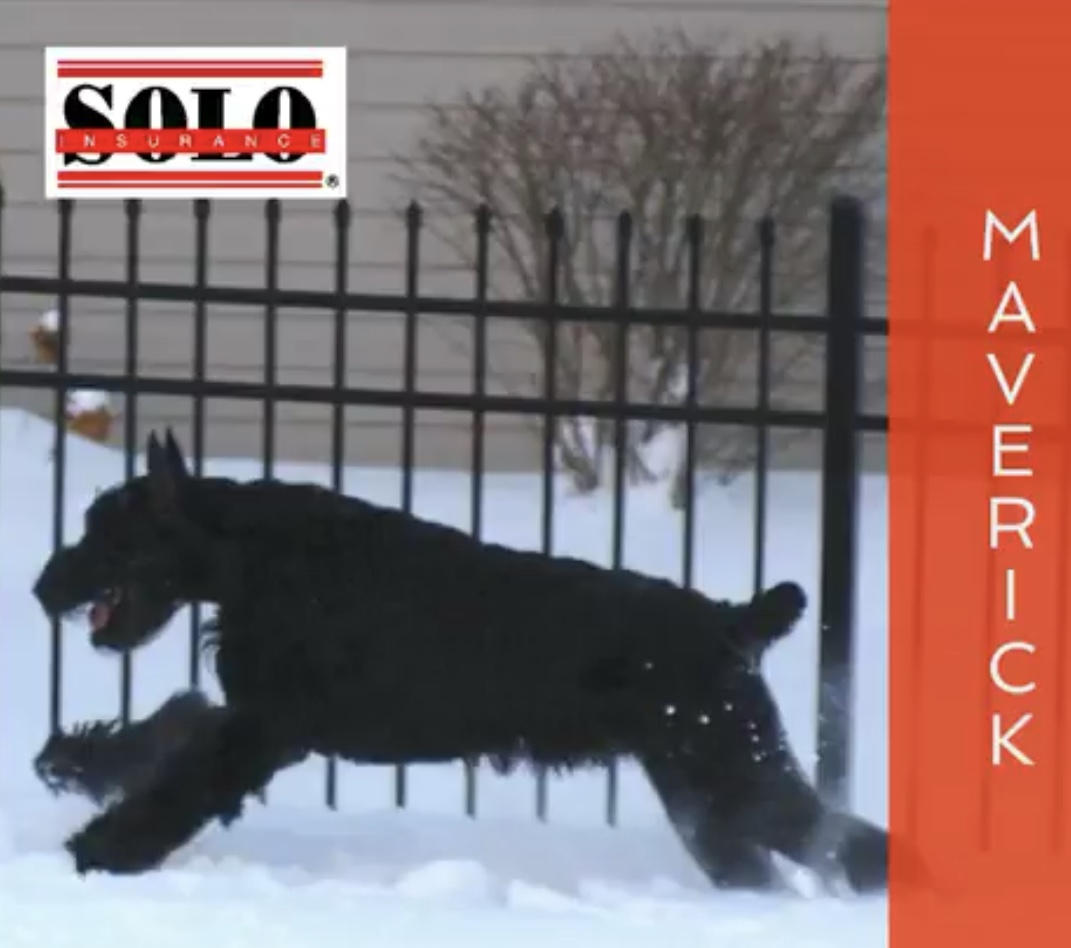 Giant Schnauzer running through snow along fence